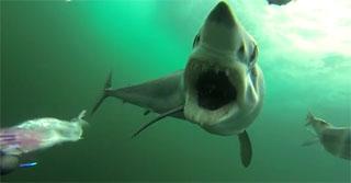 requin attaque leurre
