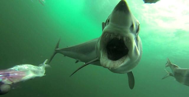 requin vidéo gopro