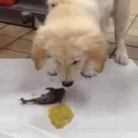 puppy vomits shark