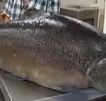 record trout