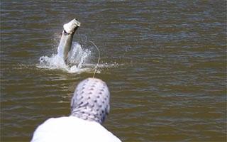 saut tarpon pêche à la mouche