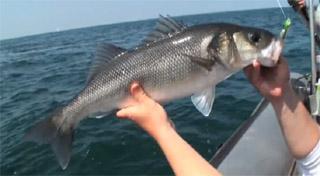 bar pêche au leurre gulp