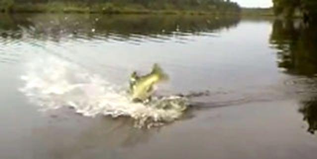 bass attacks frog