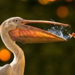 poisson echappe au pelican