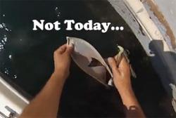 poisson pélican
