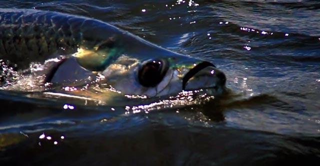 tarpon : une vidéo de pêche à la mouche en mer