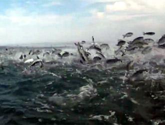 poissons sautent sur un banc d'alevins