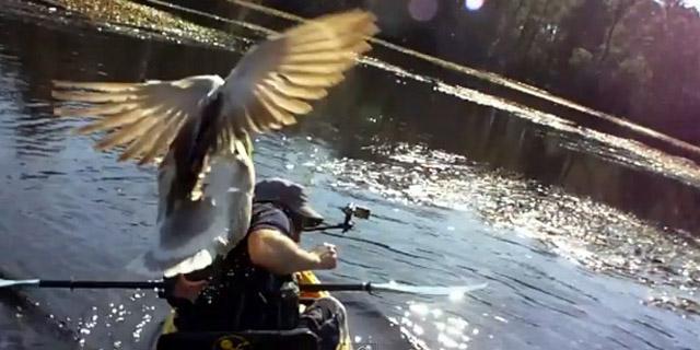 l'oie attaque le pêcheur