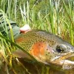 oregon trout