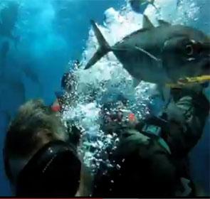 en plongée dans une chasse de thons