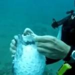 la vidéo du plongeur qui sauve un poisson globe