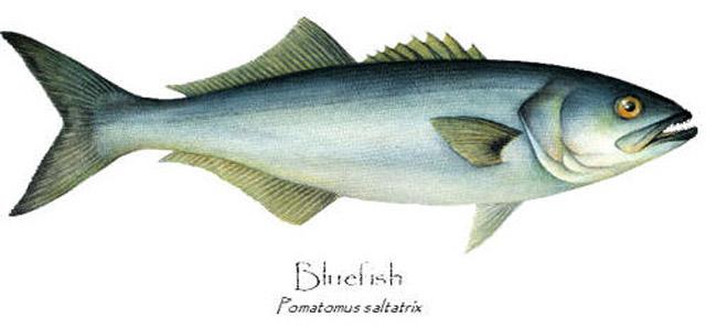 tassergal Pomatomus saltatrix