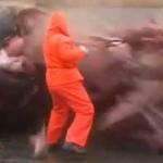 la vidéo de la baleine dont le ventre explose