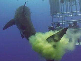 le caca de requin sur les plongeurs