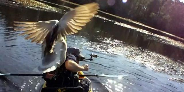 a goose attacks a man fishing in kayak