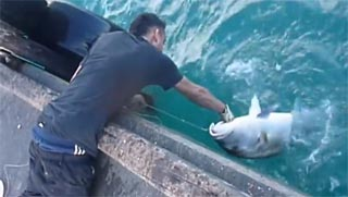 guy fishing a huge amberjack by hands, with no pole