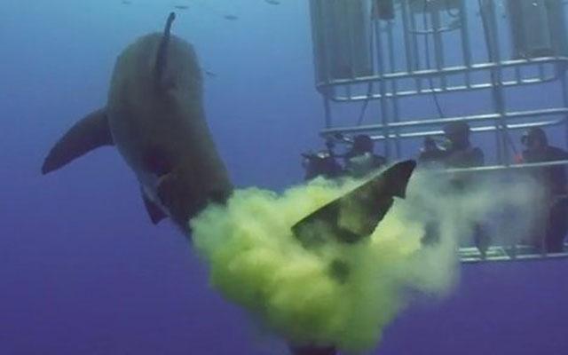 le grand requin blanc défèque sur les plongeurs dans la cage