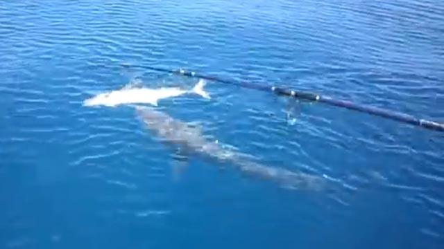 le requin attaque le poisson que le pêcheur vient de prendre