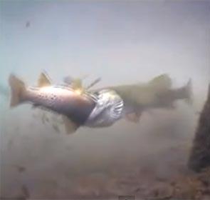 un brochet engloutit une truite, vidéo subaquatique