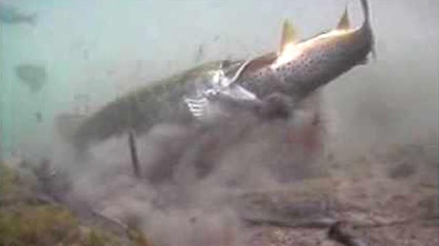 la vidéo d'un brochet qui dévore une truite