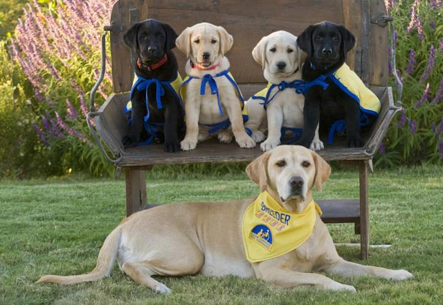 une famille de chiens-guides d'aveugle, la maman et ses petits chiots
