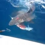 requin-mange-poisson