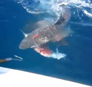 le requin mange le poisson qu'il vient de dérober à un pêcheur en Australie