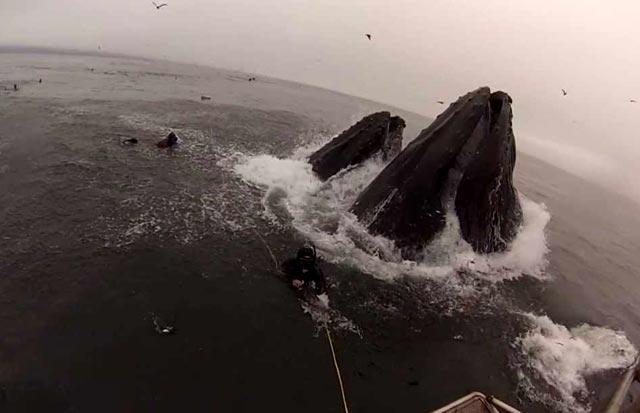 des plongeurs presque avalés par des baleines à bosse