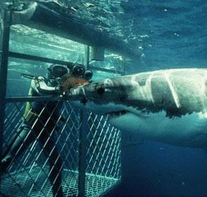 un plongeur filme un requin depuis une cage d'acier