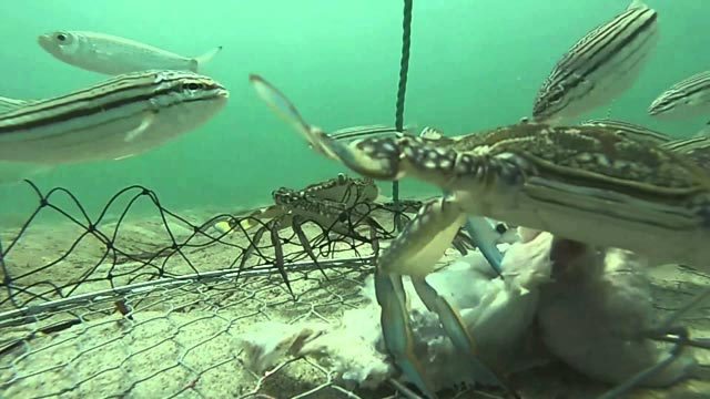 a goPro on a crab net