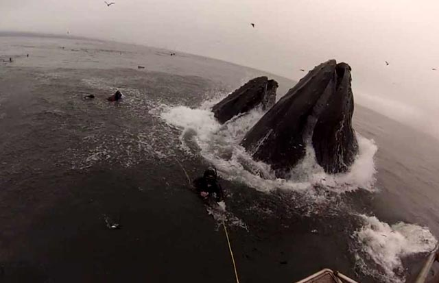 divers almost eaten by huge whales