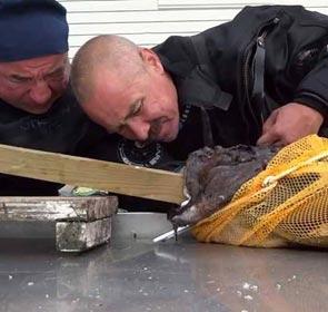 un pêcheur russe a une main coincée dans la gueule d'une lotte
