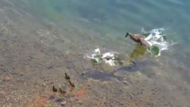 mother duck tries to save her duckling, but pike already grabbed it