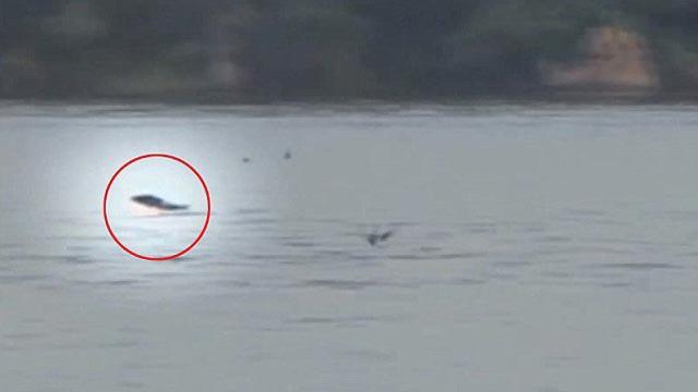 un poisson-tigtre attrape un oiseau en plein vol