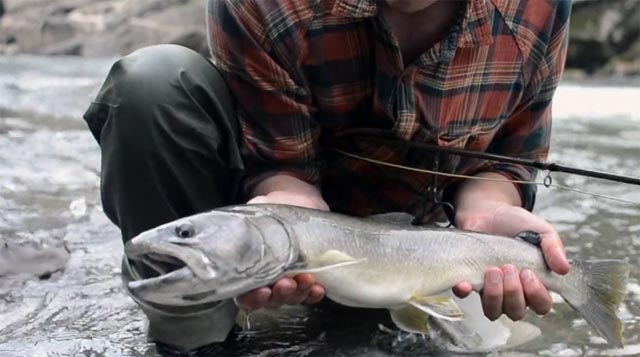 omble à tête plate, vidéo de pêche à la mouche