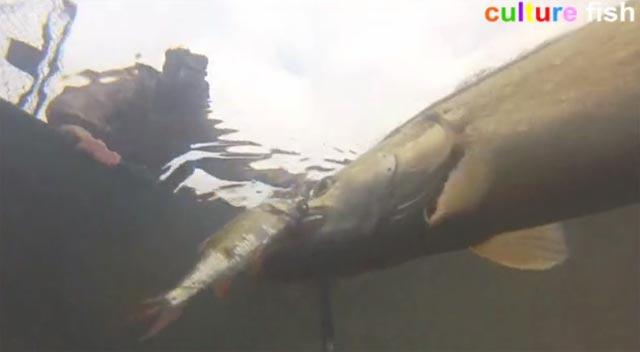 culture-fish-46 un bochet au mort manié