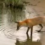 fox-catfish