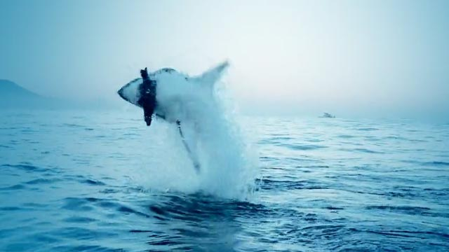 great white shark jumping out of water to attack a seal decoy