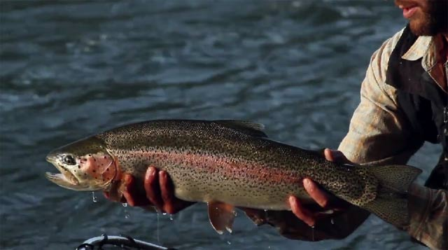 wild trout caught in kamchatka , Russia