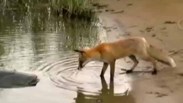 un renard approche un  silure qui a été pêche en Lituanie