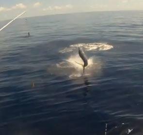joli saut hors de l'eau d'un espadon-voilier
