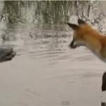silure-renard