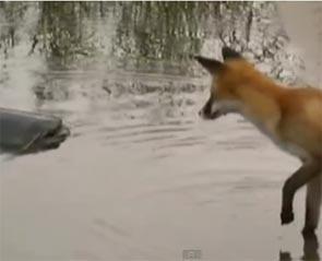 le renard veut manger le silure