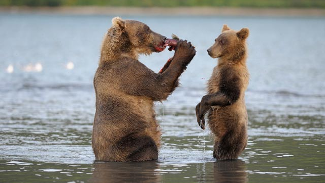terre des ours, photo Igor Shpilenok