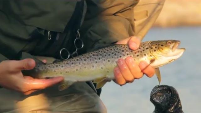jolie petite truite fario pêchée en Suède