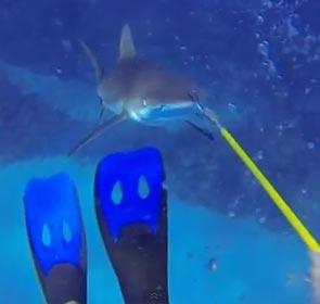 rencontre d'un plongeur avec un requin