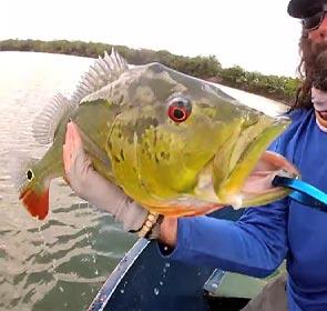peacock bass pêché à la mouche
