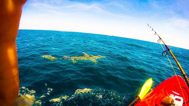 requin tracte un kayakiste