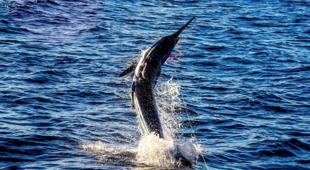 saut de marlin pour se débarasser de la ligne