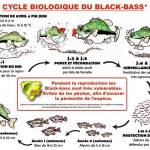 le cycle bioliogique du blackbass